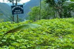 Jatropha-Nursery-at-Thakle-VDC-of-Okhaldhunga-district