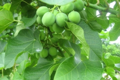 Jatropha branches with unripened fruit.