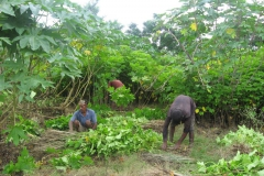 Jatropha seedlings packing up to transport to Okhaldhunga for transplanting.